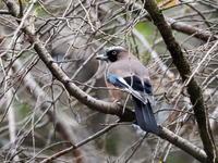 カケスは樹上に高く - コーヒー党の野鳥と自然パート3