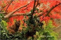 猫と紅葉 - 今が一番