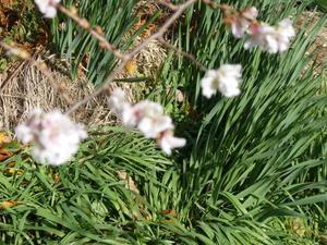 10月から春にかけて咲く珍しい桜 -