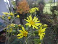 石蕗の花 - だんご虫の花