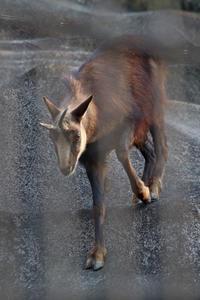 国内唯一のシャモア「モンブラン」とお邪魔なカラス(多摩動物公園) - 続々・動物園ありマス。