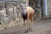 落角シフゾウ「アオバ」(多摩動物公園) - 続々・動物園ありマス。
