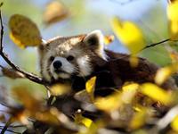 秋日和レッサーパンダの森 - 動物園放浪記