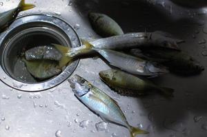 釣った魚をさばく🐟 -