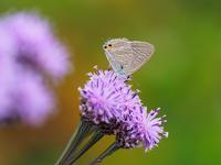 ヒメヒゴタイとヤマラッキョウにウラナミシジミByヒナ - 仲良し夫婦DE生き物ブログ