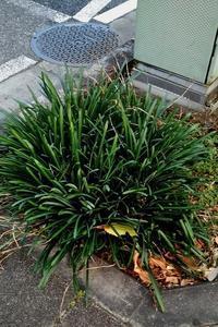 """川越街道の""""曼珠沙華""""花後の葉の群生 - 健気に育つ植物たち"""