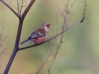 お山のベニマシコたち - トドの野鳥日記
