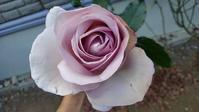 強風の中の秋バラ - ウィズコロナのうちの庭の備忘録~Green's Garden~