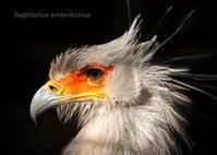 ヘビクイワシ - 動物園の住人たち写真展(はなけもの写眞館)
