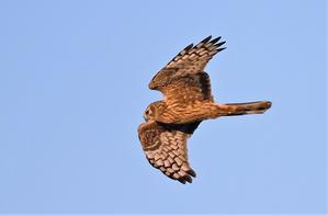 Hen Harrier -