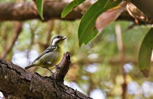 Yellow-bellied Tit -