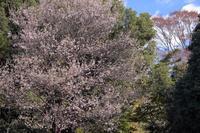 高草山のヒマラヤ桜 - やきつべふぉと