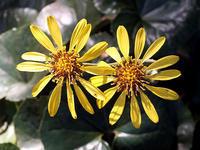 ツワブキの花 - しらこばとWeblog
