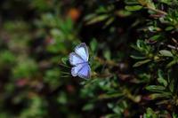 クロマダラソテツシジミ2020(5) - Lycaenidaeの蝶鳥撮影日記