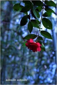 庭の山茶花 - 今が一番