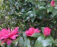 山茶花の花色 - 楽らく日記