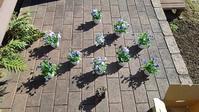冬のハンギングバスケット第二弾 - ウィズ(ゼロ)コロナのうちの庭の備忘録~Green's Garden~