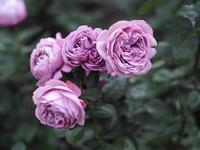 敷島薔薇園の秋薔薇18 - 光の 音色を聞きながら Ⅵ