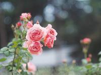 敷島薔薇園の秋薔薇19 - 光の 音色を聞きながら Ⅵ