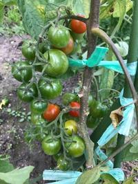 ミニトマトが採れた~💛 - おうちやさい