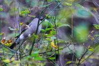 今期初認のウソ(鷽) - 野鳥などの撮影記録