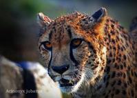 チーター:Cheetah - 動物園の住人たち写真展(はなけもの写眞館)