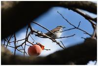 柿を食い尽くす鳥 -  one's  heart