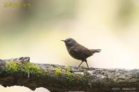 山のミソサザイ - 奥武蔵の自然