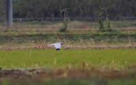 田園地帯のハイイロチュウヒその13(雄) - 私の鳥撮り散歩