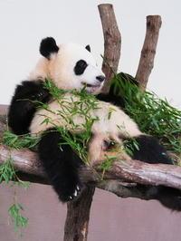 ジャイアントパンダの赤ちゃん誕生! - 風に流され、気まま気まぐれ