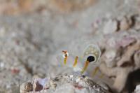 ニチリンダテハゼ幼魚 - Diving Photo web図鑑