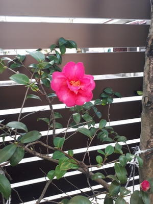 山茶花の花 -