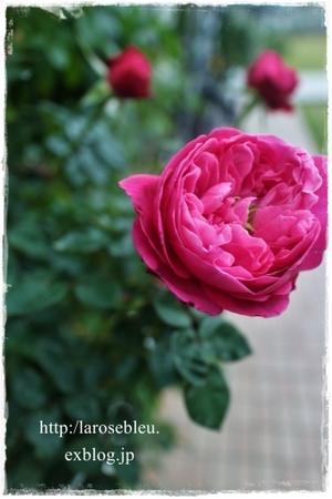 花の中からニョキッ…(ブルヘッド) - La rose 薔薇の庭