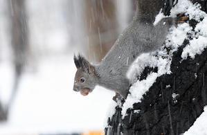 雪のエゾリス -