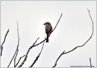 モズが枯れ木で鳴いている - 野鳥の素顔 <野鳥と日々の出来事>