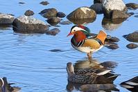 大河のオシドリ - 野鳥の視線