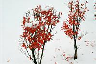 今シーズン二度目の雪とドウダンツツジ及びモンタナ松 - 照片画廊