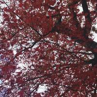 紅葉 - rikoの日記