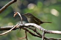 お山のウグイスさん - 鳥と共に日々是好日②
