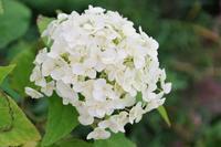 アナベルが咲くマイガーデン - 季節の風を追いかけて