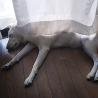 短いカーテンとイヌ - Hanakenhana's Blog