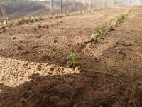 大根の3作目の発芽2作目は草取り貯水場の穴掘り - ざっかラボ九隆庵 創作事情