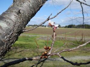 秋にさく桜 - 日常の出来事