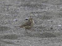 小雨降り出す浜 - TACOSの野鳥日記