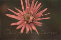 Asteraceae#001 - kinaco photography