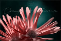 Asteraceae#002 - kinaco photography