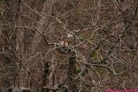 落葉した森で・・・クマタカ。 - 野鳥のさえずり、山犬のぼやき