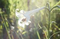 タカサゴユリ2020-12-04 - 夕陽に魅せられて・・・