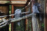 動物園のガマグチヨタカとワライカワセミ - 銀狐の鳥見