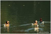 オシドリさんの池にて - 今日のいちまい